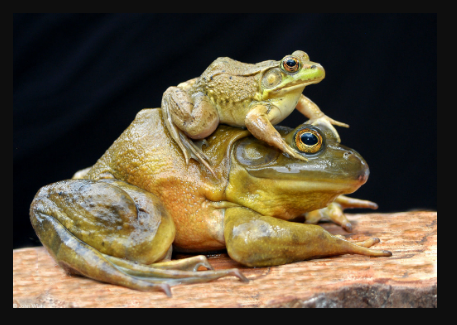 bullfrog compared size