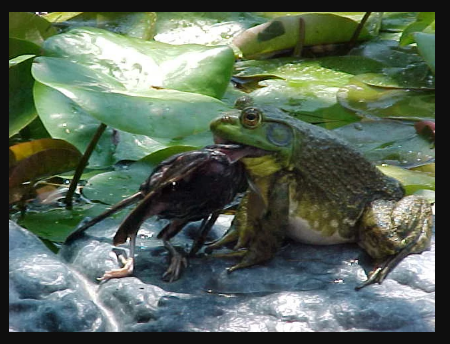 bullfrog eating