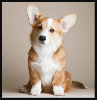 The 5 Most Wanted Dog Breeds And Their Equivalent Price In The Philippines Magtxt
