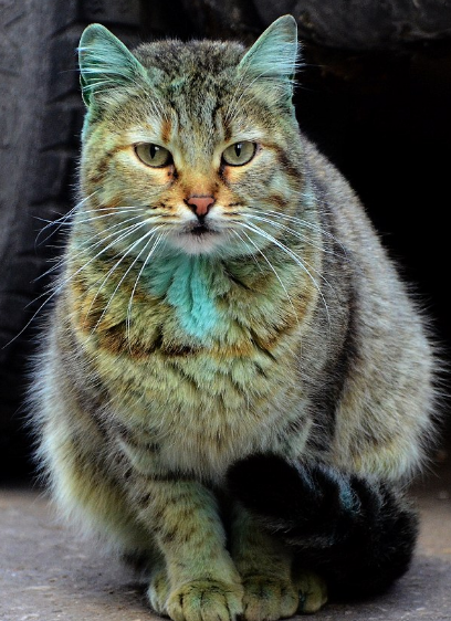 emerald green cat in bulgaria